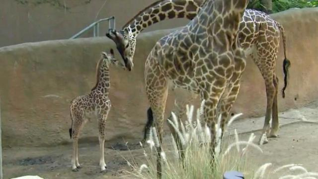 The Los Angeles Zoo announced Wednesday that a male Masai giraffe was born Oct. 9.
