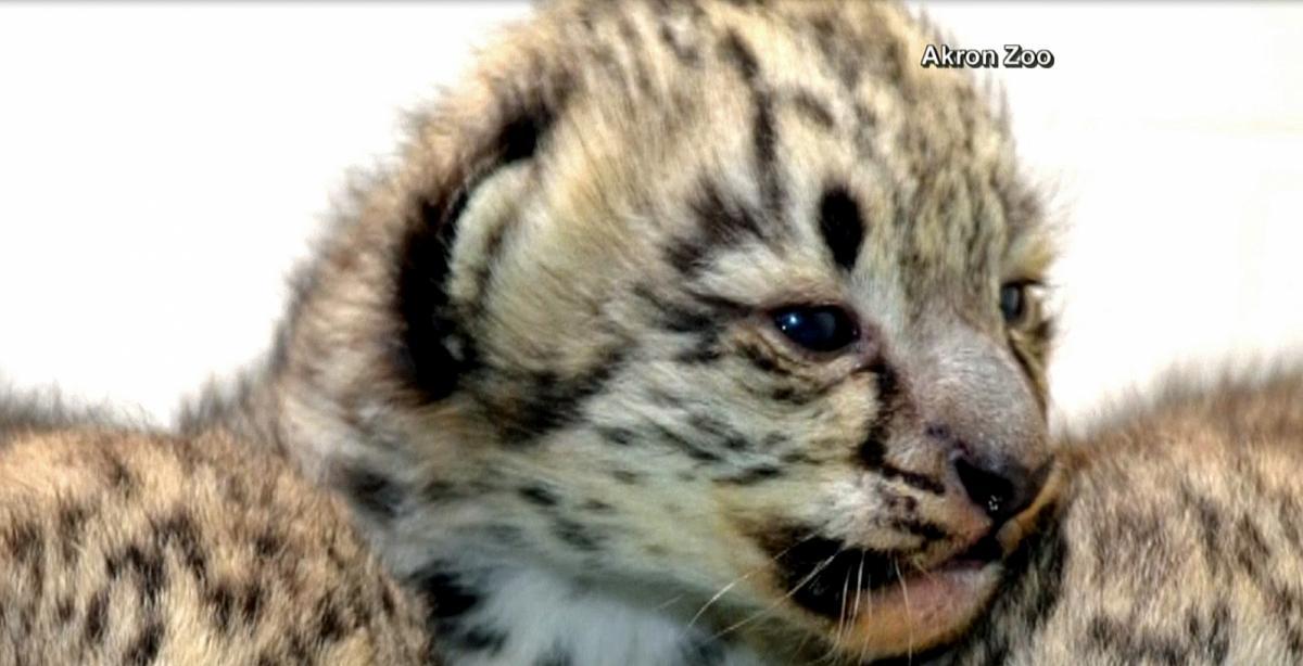 Akron zoo adds snow leopard trio WRALcom