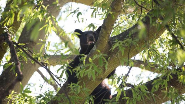 Bear in tree in Roanoke Rapids (Photo courtesy Les Atkins)