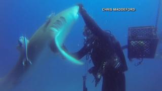 Divers remove huge hook from pushy shark's belly