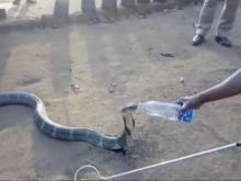 Cobra takes sip of water from man's bottle