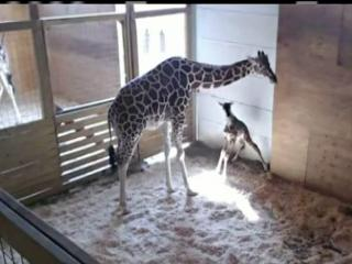 April the giraffe gave birth to a calf on Saturday.