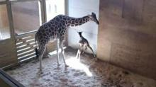 IMAGES: It's here! April the giraffe gives birth after months-long watch
