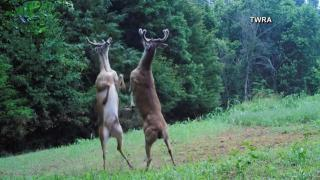 Deer duke it out in Tennessee