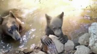 Raw: Mama, bear cub take a dip