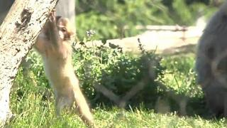 Baby snow monkey debuts at zoo