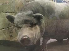 Pig named Booger bites off chunk of toddler's arm