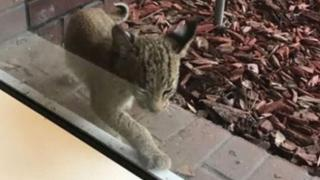 Authorities search for orphaned bobcat kitten