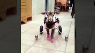 Goats on wheels: Sanctuary gives prosthetics, carts to goats