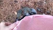 Squirrel named Mr. Nuts taken to wildlife center after 'wild 24 hours' with UNC professor