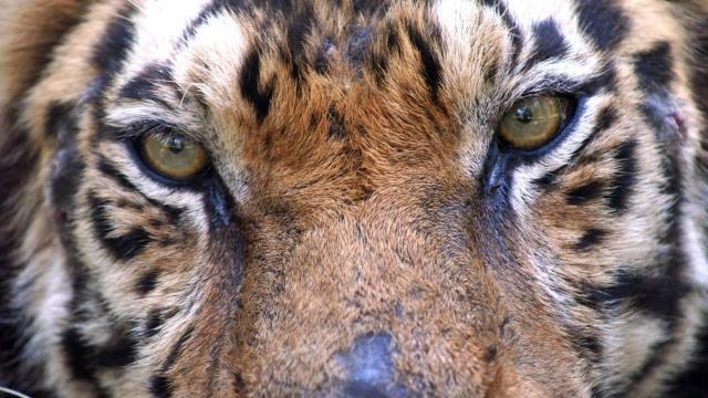 Kaela the tiger (Photo courtesy Carolina Tiger Rescue)