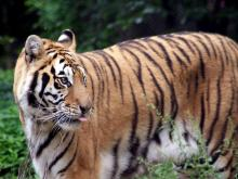 Kaela the tiger