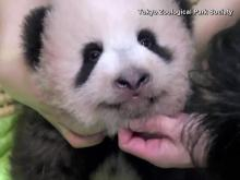 RAW: Giant panda cub in Japan marks 100 days