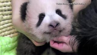 RAW: Giant panda cub in Japan marks 100 days