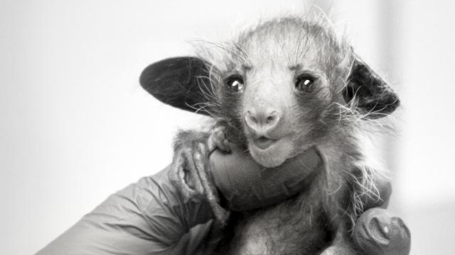 Rare aye-aye born at Duke Lemur Center