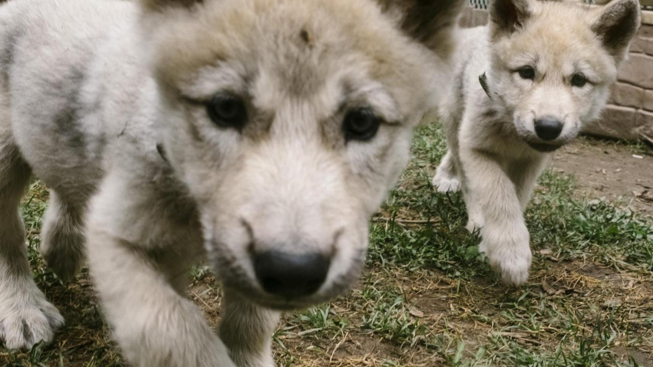 Wolf Puppies Are Cute Popular Then Comes The Call Of The Wild