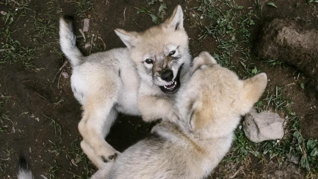 Wolf Puppies Are Cute Popular Then Comes The Call Of Wild WRAL