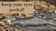 IMAGE: Kitty Hawk issues warning: Beware big alligator
