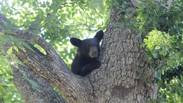 baby bear stuck in tree too afraid to come down wral com