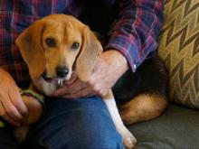 1-year-old beagle from NC finds new home in Alaska