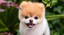 IMAGE: Boo, the 'world's cutest dog,' dies