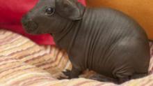 IMAGE: Hairless Guinea Pigs, Aka 'Skinny Pigs,' Look Just Like Tiny Hippos