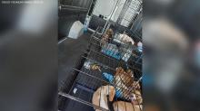 IMAGE: Dozens of beagles rescued from Mooresville home