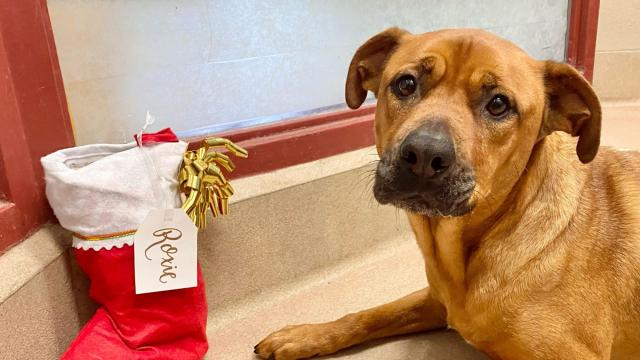 Twelve dogs at the SPCA of Wake County are in need of a loving home for the holidays.