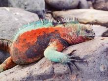The Galapagos Islands are a haven for specially evolved marine iguanas.