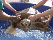 Topsail Island home to turtle hospital
