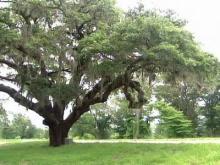 Washington ate under Pender tree