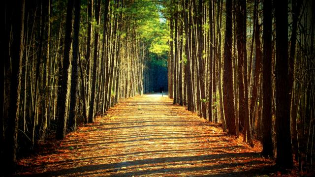 A soft, wide and scenic path winding through a wall of Wake County pines near Apex.  Photograph by Bill Leslie.