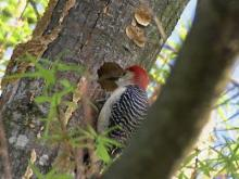 Red-bellied Woodpecker is fascinating to watch
