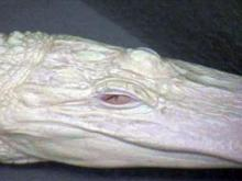albino alligator kure beach