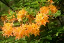 Flame Azaleas off Blue Ridge Parkway.  Photograph by Bill Leslie.