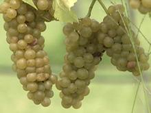 Rose Hill winery to bottle 'miracle grape'