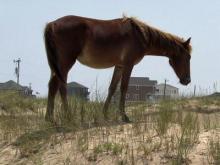 Wild horses roam Corolla