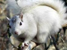 Brevard known for its white squirrels