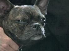 Boston Terrier attends church sermons