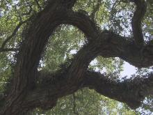 2,000 year old oak tree