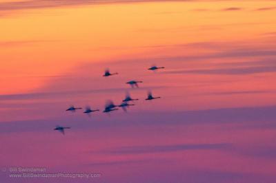 Swan Clouds