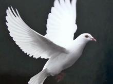 Erwin couple raises ceremonial white doves