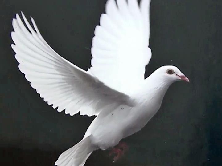 Erwin couple raises ceremonial white doves wral voltagebd Gallery