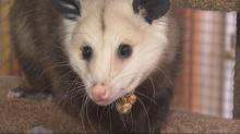 Blossom opossum