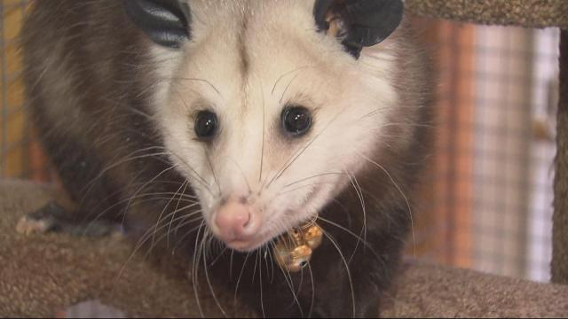 Blossom the opossum is a popular critter at the Clark Park Nature Center in Fayetteville.