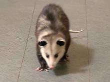 Blossom the opossum is popular critter in Fayetteville