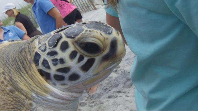 """Excitement and emotion ran high recently as volunteers from the Karen Beasley Sea Turtle Rescue and Rehabilitation Center carried 28 sea turtles back to the ocean. """"It's a miraculous day,"""" said hospital director Jean Beasley. """"Turtles who came to us near death are going back home."""""""