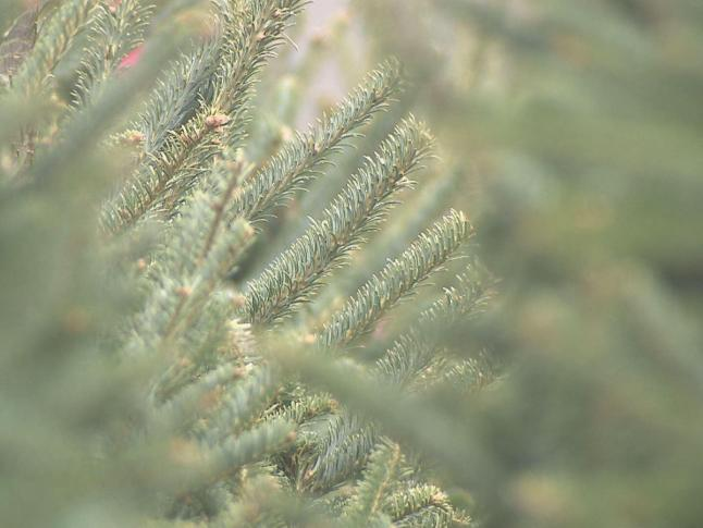 Christmas tree farms offer choose, cut, stay packages :: WRAL.com