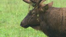 IMAGES: Daily elk habit brings spectators close to nature