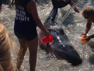 Two pygmy sperm whales beached themselves Thursday morning in South Carolina near North Myrtle Beach. (Photos courtesy WBMF)